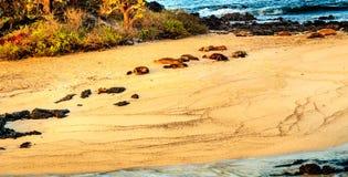 Leoni marini al Galapagos Immagini Stock Libere da Diritti