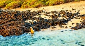 Leoni marini al Galapagos Fotografia Stock