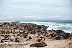 Leoni marini all'incrocio del capo, Namibia, Africa Fotografie Stock