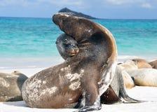 Leoni marini alla spiaggia in Galapagos immagine stock libera da diritti
