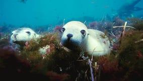 Leoni marini australiani Neophoca che cinereaplaying in acque basse nell'area delle isole di Nettuno, Australia Meridionale fotografia stock libera da diritti