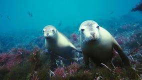 Leoni marini australiani Neophoca che cinereaplaying in acque basse nell'area delle isole di Nettuno, Australia Meridionale fotografie stock libere da diritti