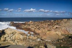 Leoni marini in Cabo Polonio Fotografie Stock