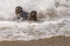 Leoni marini che giocano nella spuma immagine stock libera da diritti