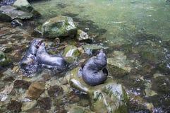 Leoni marini che giocano sulle rocce Fotografia Stock