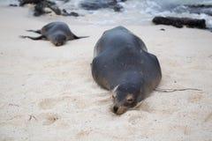 Leoni marini che oziano circa, Galapagos Fotografie Stock