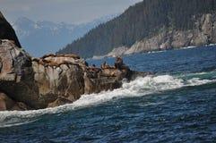 Leoni marini che prendono il sole sulle rocce Immagini Stock Libere da Diritti