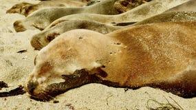 Leoni marini che riposano sotto il Sun Fotografia Stock Libera da Diritti