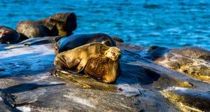 Leoni marini che riposano sulla sua madre, vicino alla spiaggia di La Jolla immagini stock libere da diritti