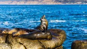 Leoni marini che riposano sulle scogliere, vicino alla spiaggia di La Jolla, San Diego U.S.A. Fotografia Stock
