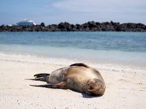Leoni marini che si rilassano nelle isole Galapagos Immagini Stock Libere da Diritti