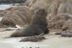 Leoni marini 3 della Nuova Zelanda Immagini Stock Libere da Diritti