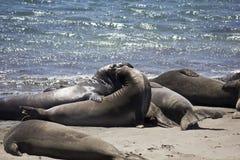 Leoni marini di California Immagine Stock