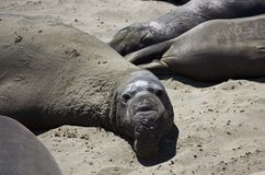 Leoni marini di California Fotografie Stock