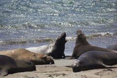 Leoni marini di California sulla spiaggia Immagini Stock Libere da Diritti