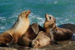 Leoni marini di California (Zalophus Caslifornianus) Immagine Stock Libera da Diritti