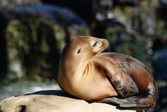 Leoni marini di California (Zalophus Caslifornianus) Fotografia Stock Libera da Diritti