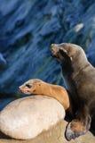 Leoni marini di Califrnia Fotografie Stock
