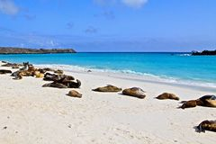 Leoni marini di Galapagos Fotografie Stock Libere da Diritti