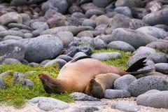 Leoni marini di Galapagos del bambino e della madre che si trovano su Seymour Islan del nord Fotografie Stock