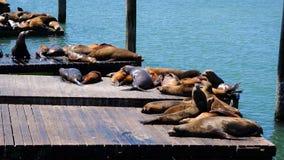 Leoni marini di San Francisco Immagine Stock Libera da Diritti