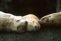 Leoni marini di Steller che dormono insieme Fotografia Stock