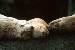 Leoni marini di Steller che dormono insieme (eumetopias jubatus), l'Alaska Fotografia Stock Libera da Diritti