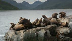 Leoni marini di Steller della colonia di corvi Isola in oceano Pacifico vicino al video del metraggio delle azione della penisola video d archivio