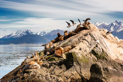 Leoni marini e Albatros sul isla in canale del cane da lepre vicino a Ushuaia Fotografia Stock