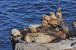 Leoni marini e guarnizione Fotografie Stock