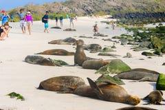 Leoni marini ed i turisti alla spiaggia in isole Galapagos Immagine Stock