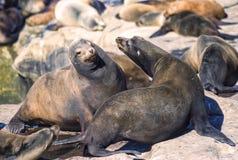 Leoni marini, La Jolla, California fotografia stock