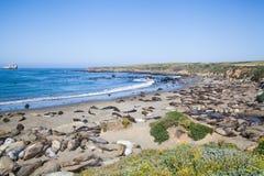 Leoni marini lungo la linea costiera di California Fotografia Stock