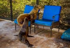 Leoni marini nel Galapagos Fotografia Stock