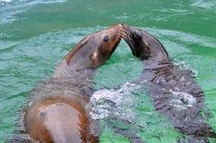 Leoni marini nell'acqua, nasi commoventi, bacianti Fotografie Stock