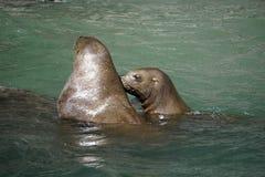 Leoni marini nell'Alaska fotografia stock