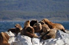 Leoni marini nella Patagonia, Argentina Immagine Stock