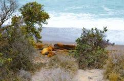 Leoni marini a Punta Norte Immagine Stock