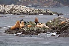 Leoni marini su una piccola isola Fotografie Stock Libere da Diritti