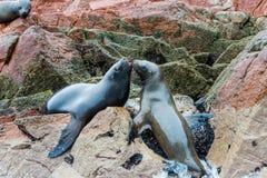 Leoni marini sudamericani che si rilassano sulle rocce delle isole di Ballestas nel parco nazionale di Paracas. Il Perù. Flora e f Immagine Stock