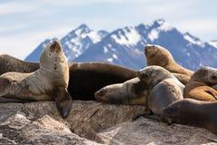 Leoni marini sul isla in canale del cane da lepre vicino a Ushuaia fotografia stock