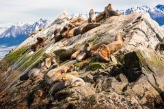 Leoni marini sul isla in canale del cane da lepre vicino a Ushuaia Argentina immagini stock libere da diritti