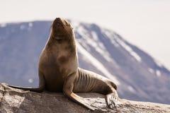 Leoni marini sul isla in canale del cane da lepre vicino a Ushuaia Argentina fotografia stock