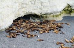 Leoni marini sulla riva dell'oceano Fotografie Stock Libere da Diritti