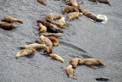 Leoni marini sulla riva dell'oceano Fotografia Stock