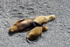 Leoni marini sulla riva dell'oceano Immagine Stock