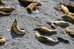 Leoni marini sulla riva dell'oceano Immagine Stock Libera da Diritti