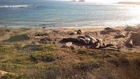 Leoni marini sulla spiaggia Fotografia Stock Libera da Diritti