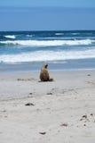Leoni marini sulla spiaggia immagine stock