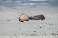 Leoni marini sulla spiaggia all'isola del canguro immagine stock